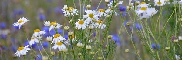 קמומיל - צמח מרפא להרגעה מספר אחד